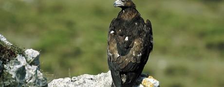 Águila real. Arrano beltza. DFA
